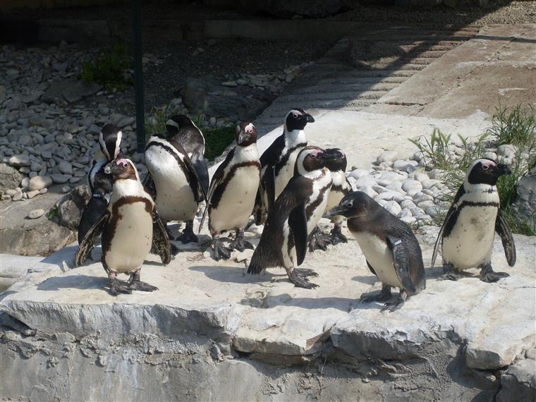 Quase 60 pinguins mortos após serem atacados por cães na Tasmânia