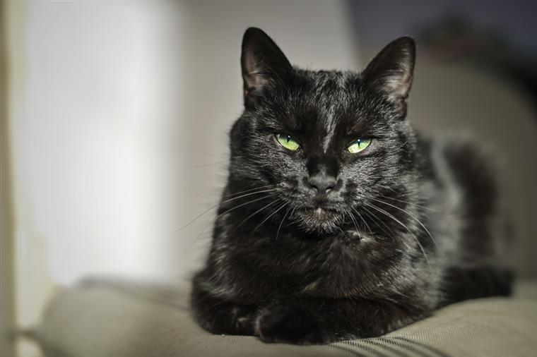 10a71a518af Os gatos de cor preta andam a ser cada vez mais recusados
