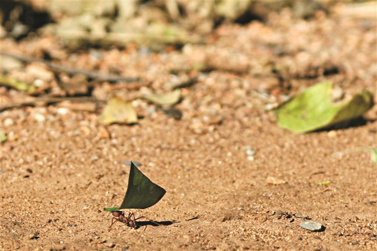 Com 250 formigas em estudo, quase metade não desempenhava qualquer tarefa em benefício da comunidade