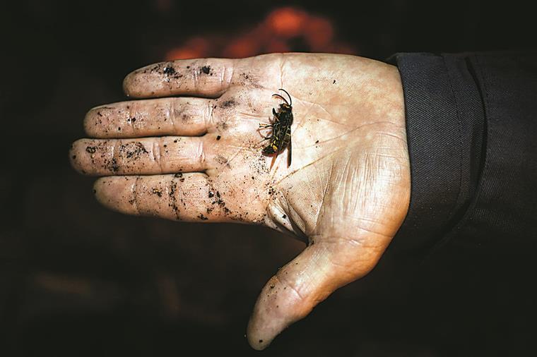 A  vespa asiática é muito maior do que a vespa europeia, atingindo a rainha 3,5 cm