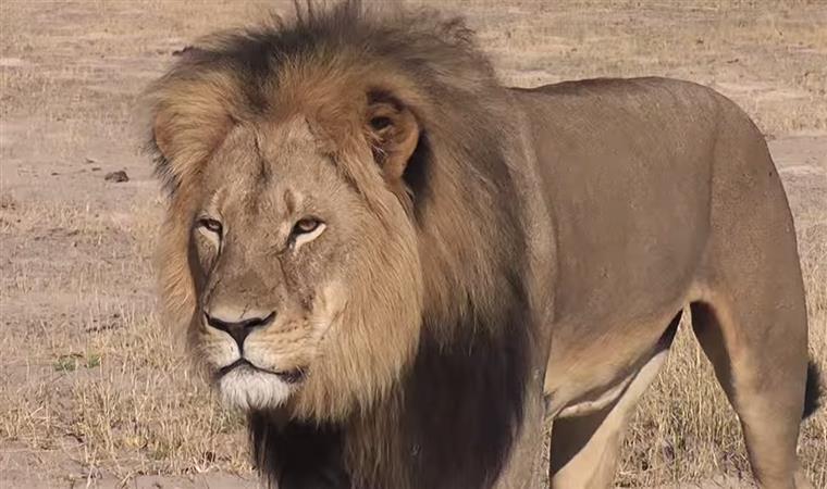 Estas são as últimas imagens de Cecil com vida