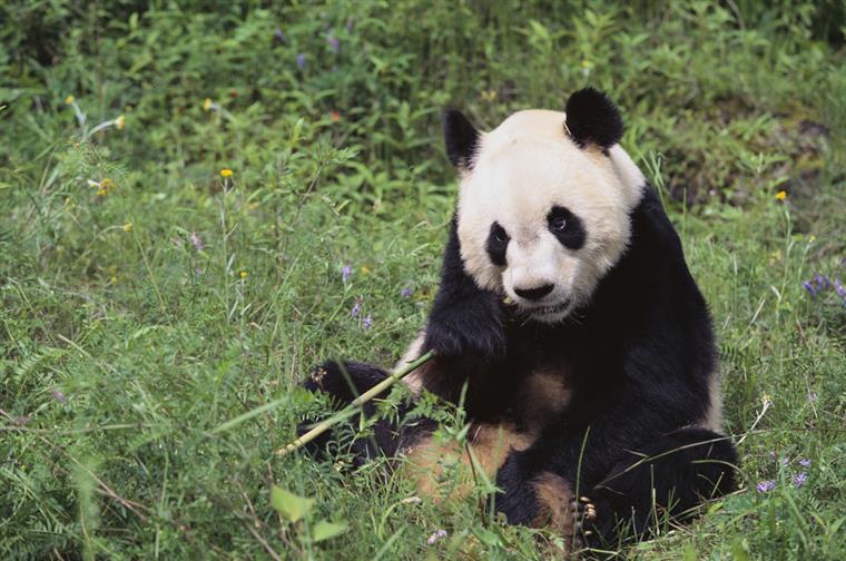 Segundo a Guinness, Jia Jia é o panda mais velho do mundo