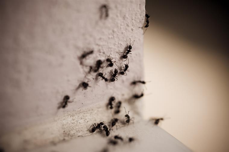 O mapa diferencia as formigas que são nativas de uma região e as espécies que foram importadas