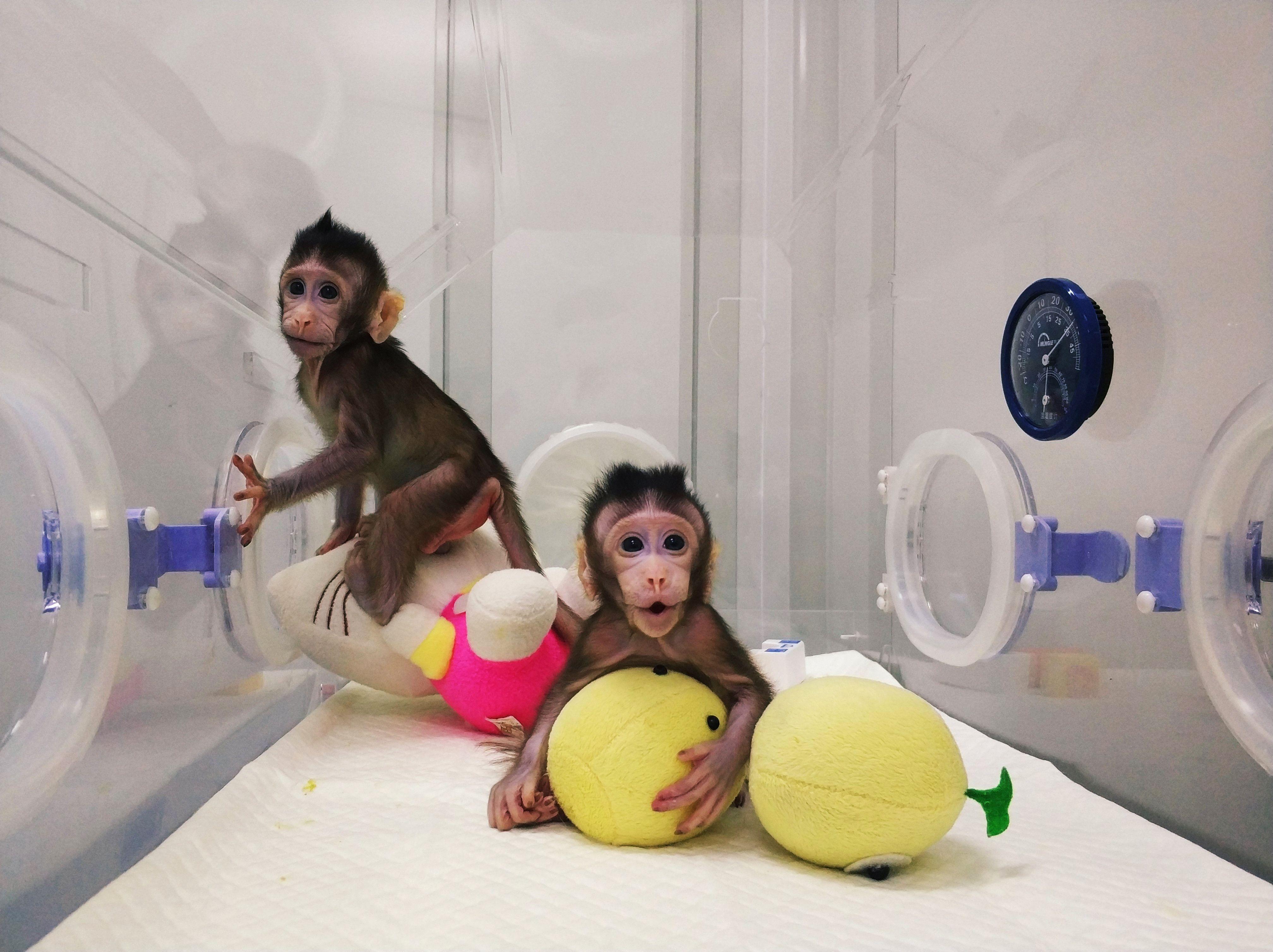 Nasceram os primeiros primatas clonados com a técnica de Dolly