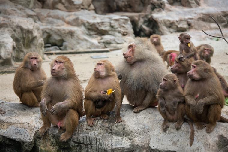 Zoológico é evacuado depois da fuga de 52 babuínos
