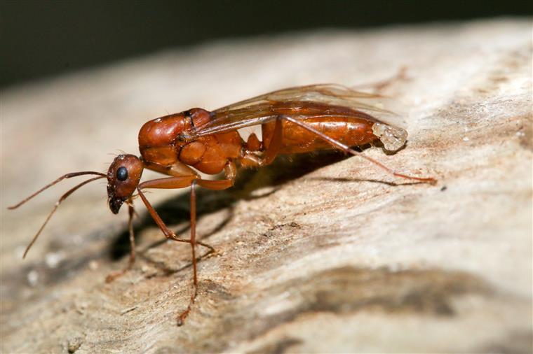 Formigas voadoras chegam a Portugal. Especialista diz que é uma situação normal