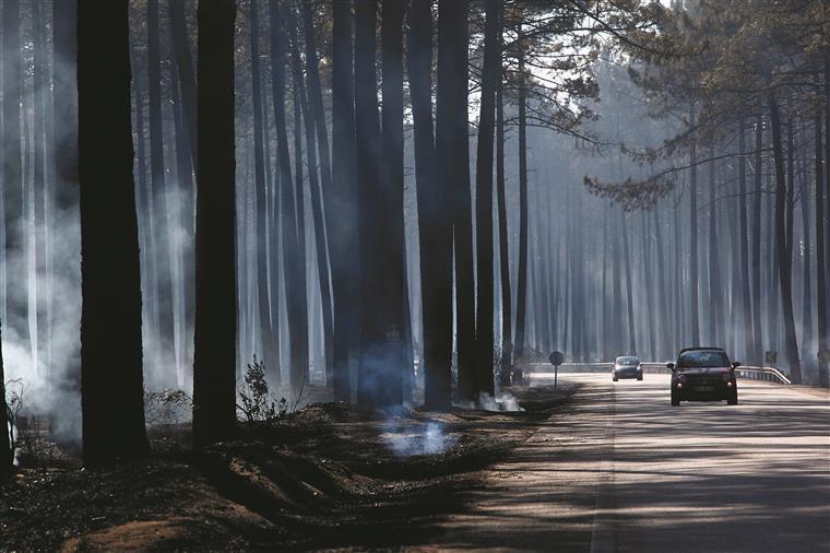 Pinhal de Leiria. Recebidos 70 mil pinheiros para reflorestação